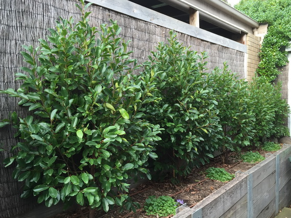Magnolia Laevifolia X Figo White Caviar Syn Michelia Advanced