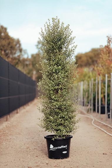 Pittosporum Tenuifolium Screenmaster Pbr Advanced