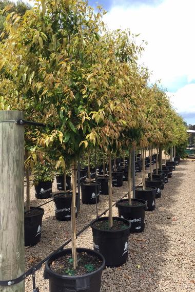 Waterhousea Floribunda Advanced Trees Wholesale